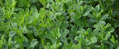 Lucerne close up
