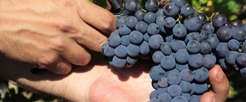Timorex Gold for grapes