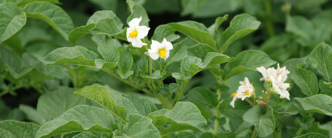 New chemistry delivers step change in early blight control