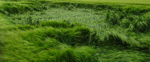 Reducing the risk of lodging in cereals