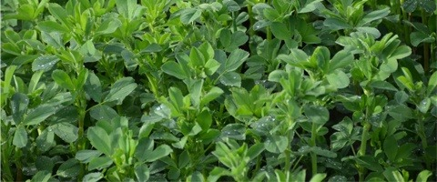 Managing weeds in lucerne crops