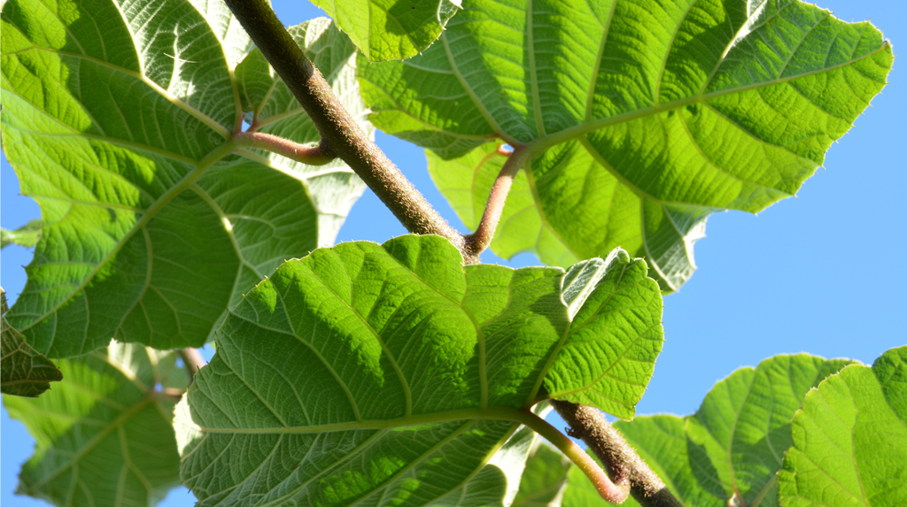 kiwi_fruit_leaves_news-big