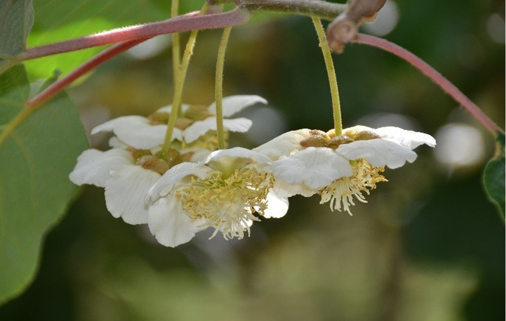 Kiwifruit at flowering growth stage